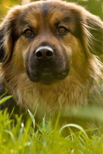 Preview iPhone wallpaper Dog, greens, grass, bokeh