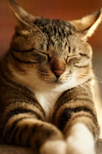 Preview iPhone wallpaper Gray striped cat sleep