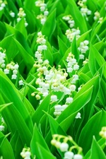Preview iPhone wallpaper Lily of the Valley, white flowers, green leaves
