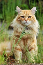 Preview iPhone wallpaper Orange cat sit in the grass