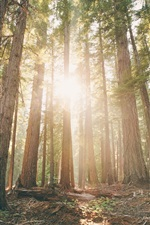 Preview iPhone wallpaper Oregon, forest, pine trees, dawn, sun rays