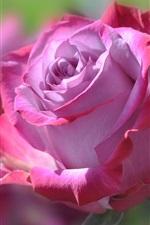 iPhone обои Розовый цветок, лепестки, розы
