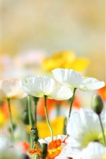 Preview iPhone wallpaper Poppies, flowers, yellow, white, orange, summer