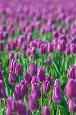 미리보기 iPhone 배경 화면 흐리게 보라색 튤립, 꽃 필드,