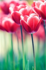 Preview iPhone wallpaper Red flowers, tulips, bokeh