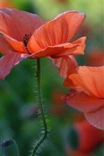 Preview iPhone wallpaper Red poppies, flowers close-up