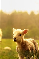 Preview iPhone wallpaper Sheep, lambs, wood