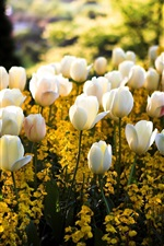 Spring, park, white tulip flowers