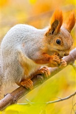 Preview iPhone wallpaper Squirrel, nut, tree, branches, autumn