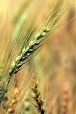 Wheat fields, green, blur