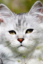 Preview iPhone wallpaper White cat in the grass, daisies flowers