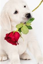 Preview iPhone wallpaper White dog, rose