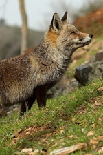 Animal close-up, fox, grass
