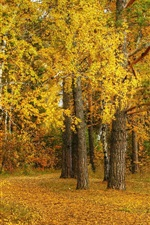 Preview iPhone wallpaper Autumn, birch, yellow leaves, trees, forest