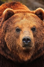 Preview iPhone wallpaper Brown bear, face close-up