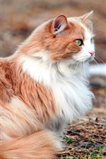 Cute brown white cat, rest