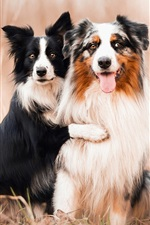 Preview iPhone wallpaper Dogs, Australian shepherds, friends