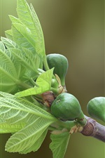 Preview iPhone wallpaper Fig tree in garden