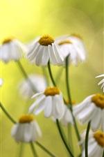 Flowers, white daisies, bokeh