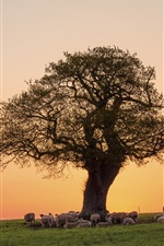 Preview iPhone wallpaper Pink evening, sunset, sheep, tree, pasture