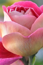 Preview iPhone wallpaper Pink rose close-up, flower, petals