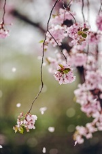 Preview iPhone wallpaper Trees, cherry flowers blossom, spring, petals