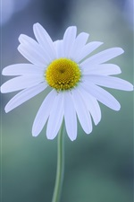 White flower, chamomile, glare