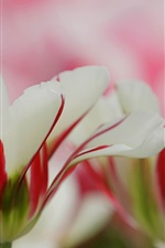 White red petals, flowers, blur