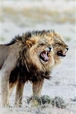 Animals close-up, lions, Africa