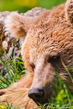 Preview iPhone wallpaper Bear sleep, grass