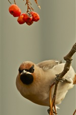 Preview iPhone wallpaper Birds, waxwing, twig, berries
