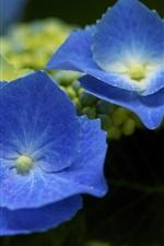 Preview iPhone wallpaper Blue hydrangea, petals