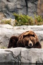 미리보기 iPhone 배경 화면 갈색 곰, 자고, 동물원, 바위
