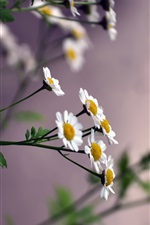 Preview iPhone wallpaper Daisies, small white flowers