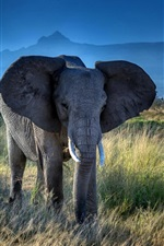 Preview iPhone wallpaper Elephant, big ears, tusks, African, grass, trees