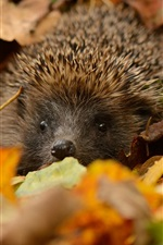 Preview iPhone wallpaper Hedgehog hidden, leaves