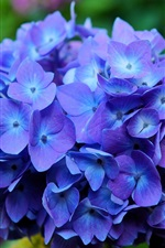 Preview iPhone wallpaper Hydrangea flowers, blue, macro