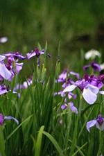 Iris, blue flowers, green grass, summer
