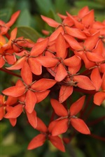 Preview iPhone wallpaper Ixora chinensis, red flowers