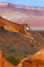 Puma, cougar, mountain lion, jump