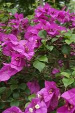 Preview iPhone wallpaper Purple flowers, Bougainvillea spectabilis Willd