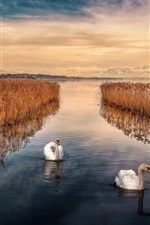 Preview iPhone wallpaper Swan, lake, sky, reeds, dusk