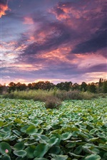Preview iPhone wallpaper Water lily pond, trees, sunset, dusk