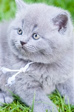 Preview iPhone wallpaper British Shorthair, gray kitten, grass
