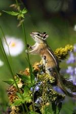 Preview iPhone wallpaper Chipmunk, grass, flowers