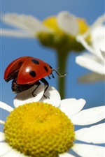 Preview iPhone wallpaper Flower, petals, chamomile, insect, ladybug