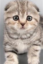 Gato cinzento, gatinho, cara
