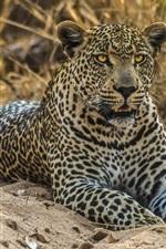 Preview iPhone wallpaper Leopard, wild cat, predator, sand