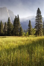 Meadow, Yosemite Valley, early morning, trees