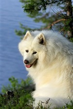 Preview iPhone wallpaper Samoyed dog, river, trees
